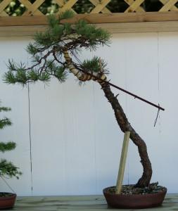 lit_pine1