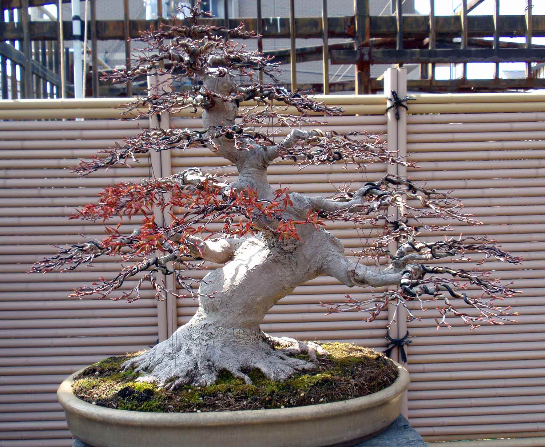 Bonsai Westcoastbonsai Wiring Maple A Fully Wired Wire To The Tips