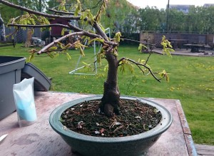 hornbeam_before