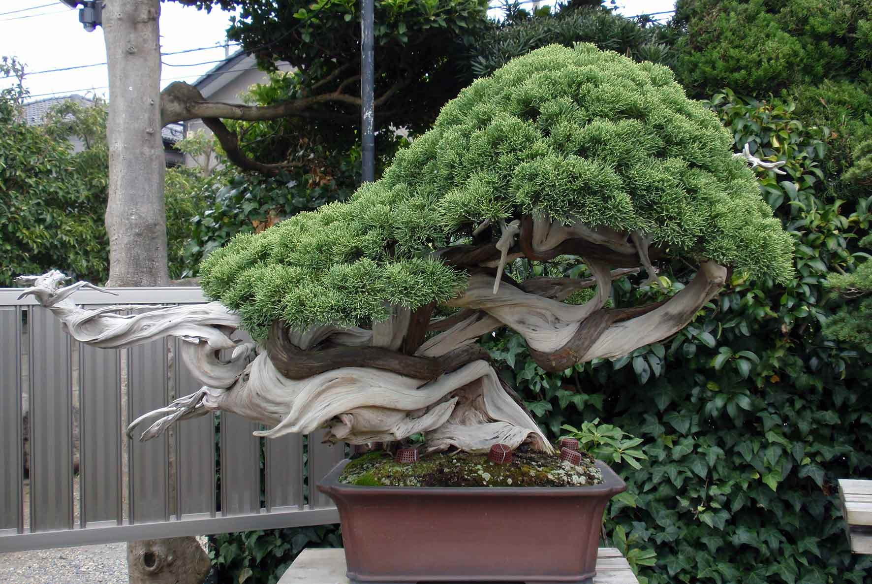 Westcoastbonsai Bonsai And More Wiring Yew Kimura5