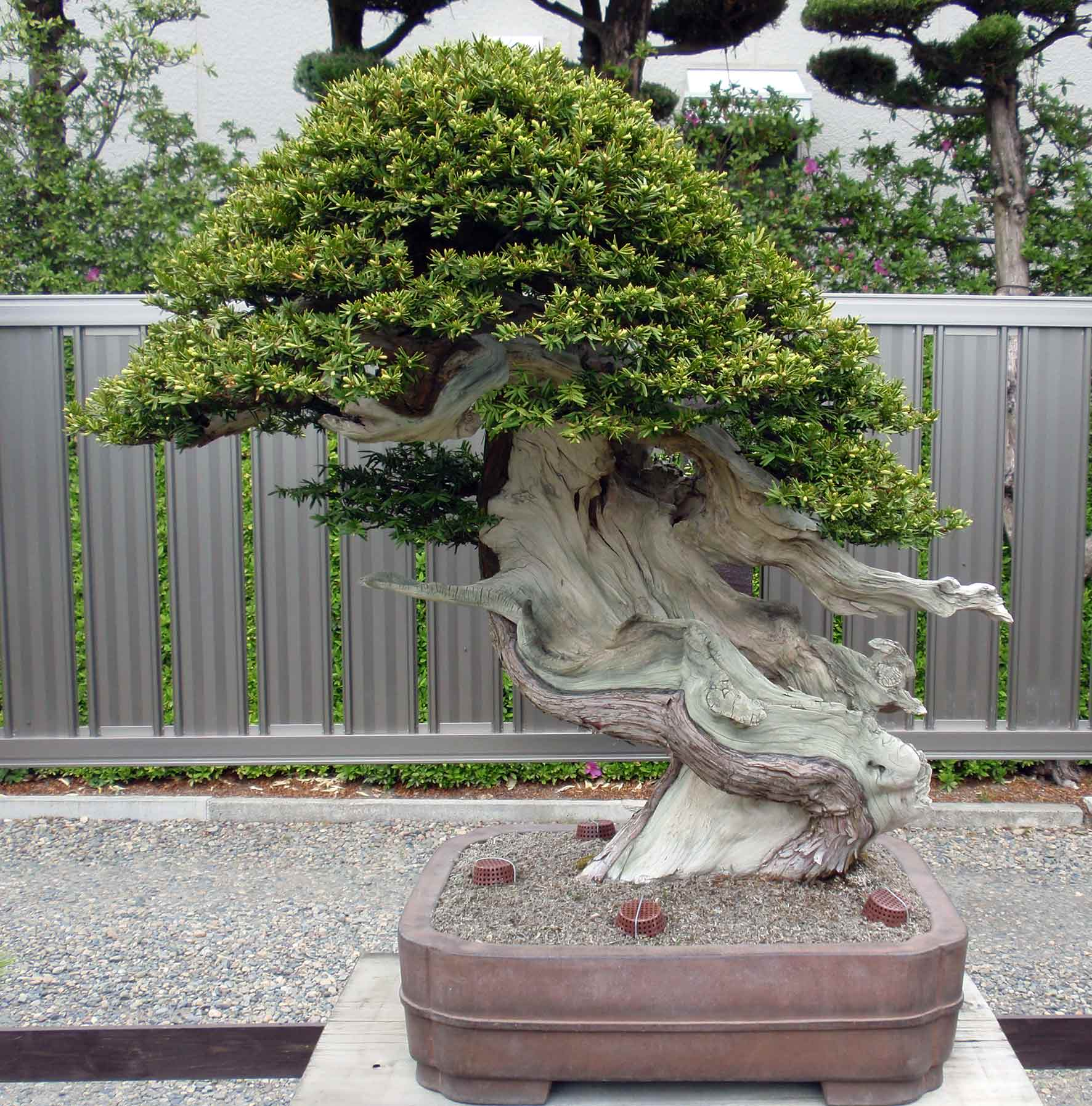 Westcoastbonsai Bonsai And More Wiring Yew A Really Awesome Japanese With Deadwood To Die For